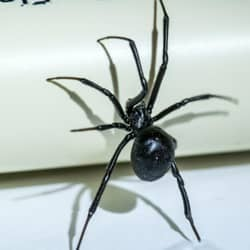 Are Black Widow Spiders Really Dangerous