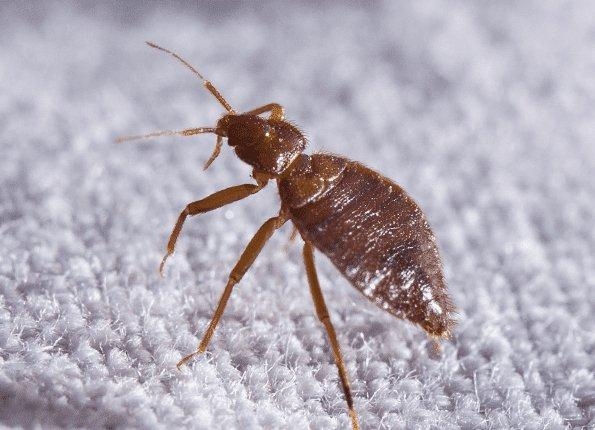 bed bug control and treatments