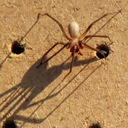 brown recluse spider near indianapolis home