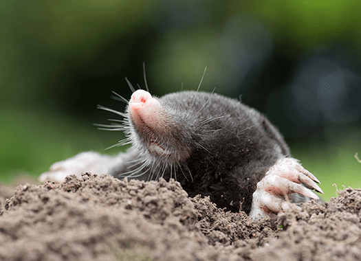 mole digging hole near terre haute home