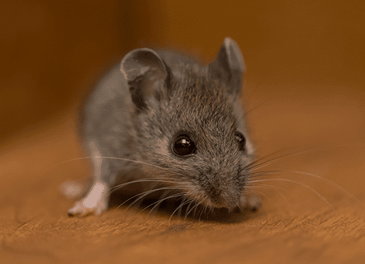 mouse found in the living room of a louisville home