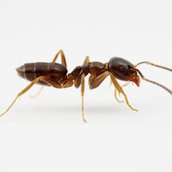 odorous house ant on white background