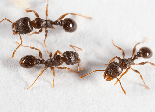 pavement ants on white background