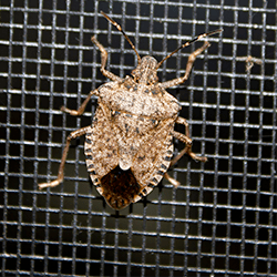 stink bug on window screen