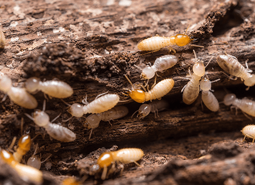 termites found in a louisville home
