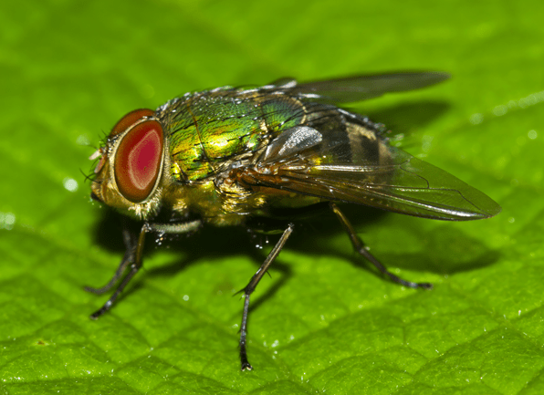 blow fly on leaf