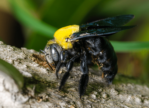 carpenter bee excavating in wood