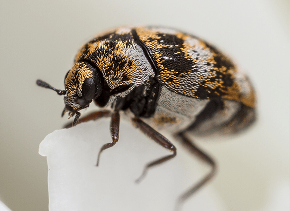 multi-colored carpet beetle