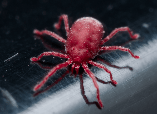 tiny red clover mite
