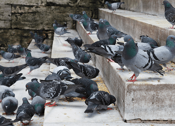 pigeons on steps