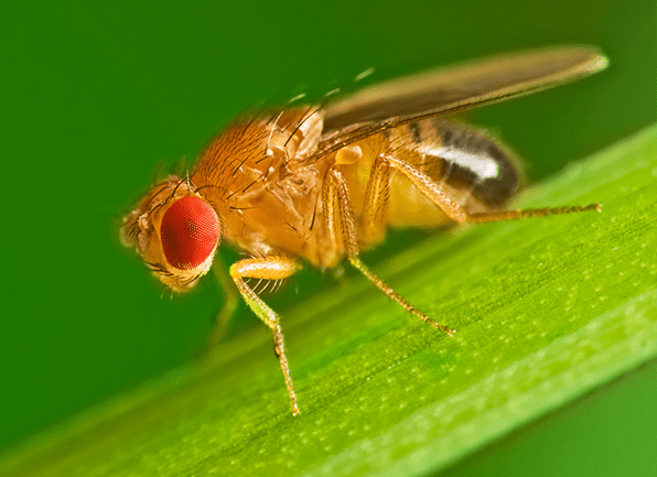tiny fly with big red eyes
