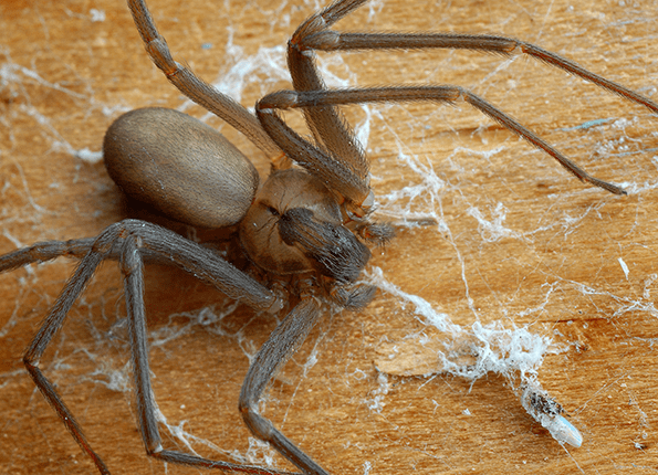 Brown Recluse Spider Identification Guide