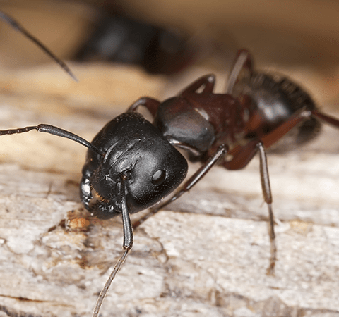 carpenter ant outside kentucky home