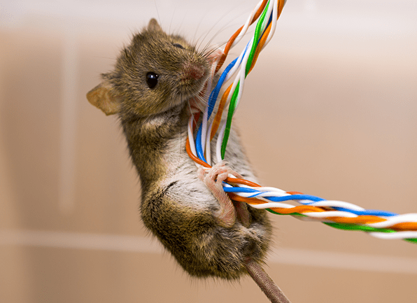 house mouse chewing on wires
