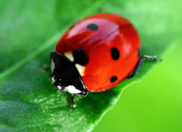 Lady Bug Identification Guide