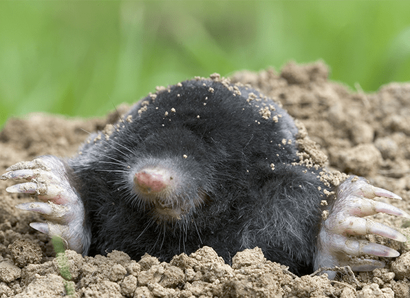 up close look at a mole and its claws