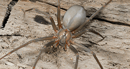 brown recluse spider on a jasper home wall