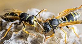 wasps swarming around their nest outside bloomington home
