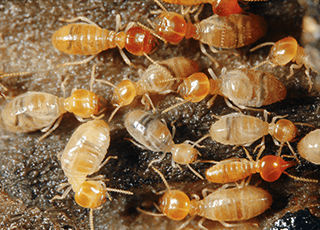 worker termites often found in homes